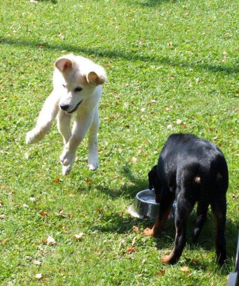 Welpe springt vor Freude beim freien Spiel